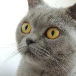 猫アレルギーで喘息に!手放さないための対策や治療法とは?