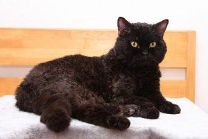黒猫 セルカークレックス