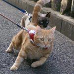 猫が散歩でついてくる様にしつける方法は?リードは必要?