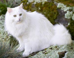 黒猫 ターキッシュ白