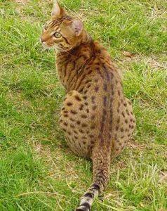 猫 大型 チートー
