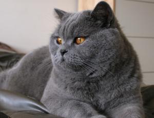 黒猫 ブリティッシュグレー