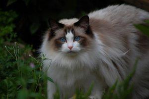 猫 大型2