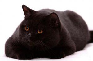 黒猫 ブリッティッシュ黒