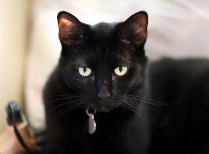 黒猫 アメショ