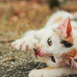 猫の寄生虫!サナダムシやイソスポラの駆除の方法とは?