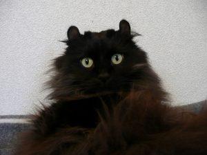 黒猫 アメリカンカール