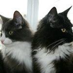 猫の種類で性格は違う!ペットショップの元店員が薦める飼いやすいランキング