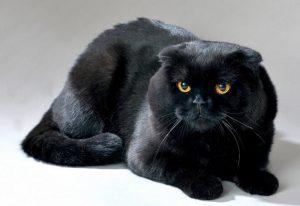 黒猫 スコティッシュ