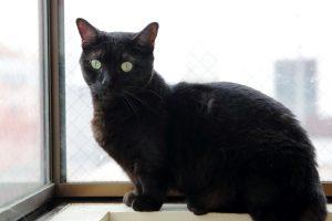 黒猫 マンチカン