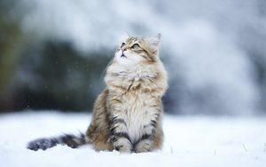 猫 大型6 サイベリアンん