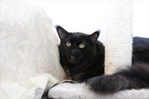 黒猫 メインクーン