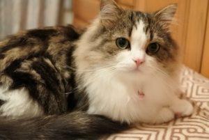 猫 大型 ラガマフィン