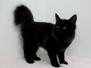 ノルウェージャン黒猫