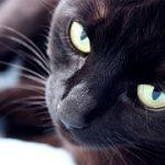 黒い猫の種類を画像で紹介!人気の品種ランキングin日本