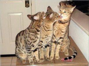 猫 大型 サバンナ