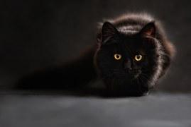 黒猫 メインクーン1