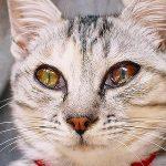 猫の結膜炎が治らない!目薬で完治するの?