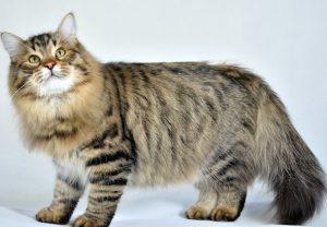 猫 大型7 サイベ