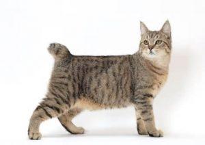 猫 大型 ピクシーボブ