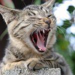 猫の口臭が生臭い!考えられる3つの原因とその対策とは?