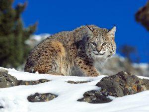 猫 大型 ボブキャット2