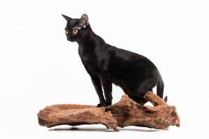 黒猫 ボンベイ