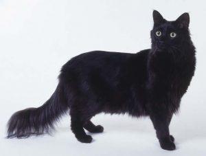 黒猫 ターキッシュ黒