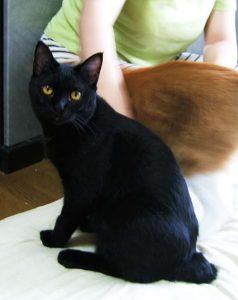 黒猫 ジャパニーズボブ