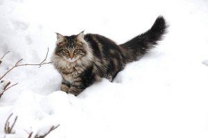 猫 大型 ノルウェージャン