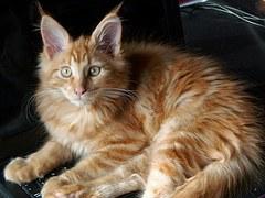 猫 大型 メインクーン3