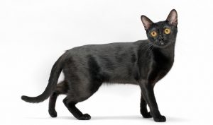 黒猫 ボンベイ1