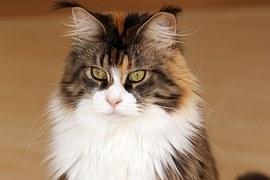 猫の柄 メインクーン