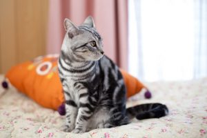 猫の柄 アメショー1