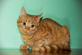 猫の柄 チヤトラ