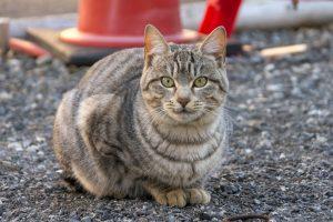 猫の柄 グレートラ1