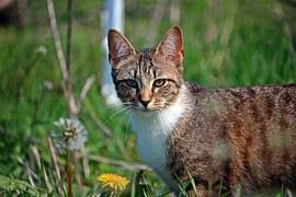 猫の柄 キジシロ1