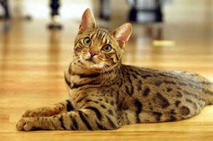 猫の柄 ベンガル1
