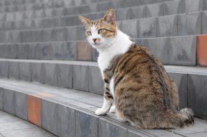 猫の柄 キジシロ3