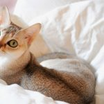 猫のさかり!避妊手術をしても治らない時の対処法とは?