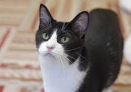猫の柄 ハチワレ2