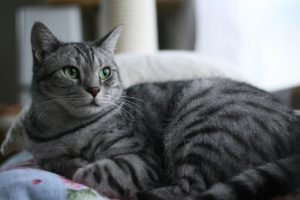 猫の柄 サバトラ1