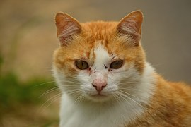 猫の柄 チヤトラシロ2