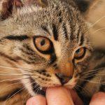 猫の歯を削ると噛み癖が治るってホント?費用はどれくらい?