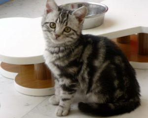 猫の柄 アメショ2