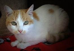 猫の柄 チャシロトビ1