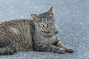 猫の柄 キジトラ4