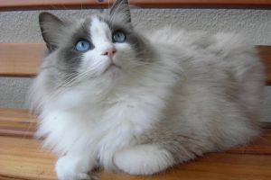 猫の柄 ラグドール