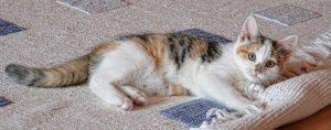 猫の柄 キャリビー2