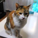 猫がテーブルに乗る!しつけで止めさせる3つの方法とは?